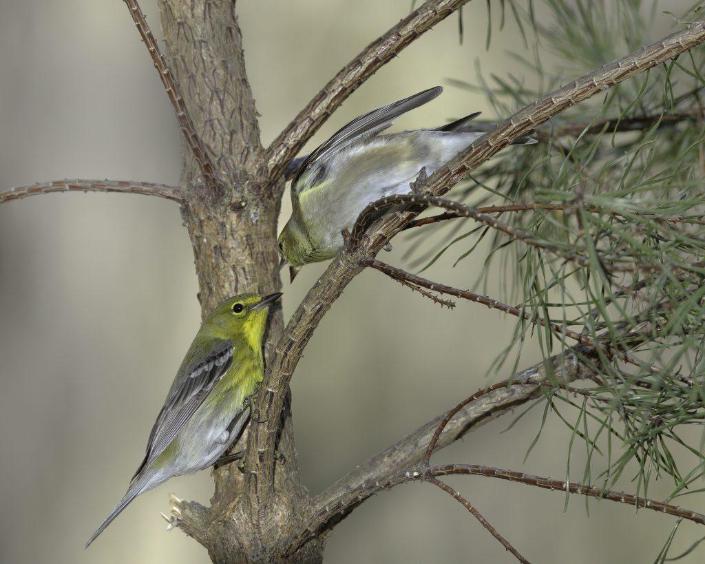 American Goldfinch, Pine Warbler