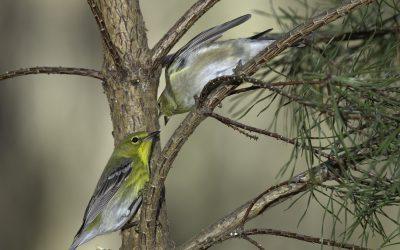 Photo: American Goldfinch and Pine Warbler, Dayton, Virginia