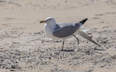 Photos: Ring-billed Gull, Assateague, Virginia