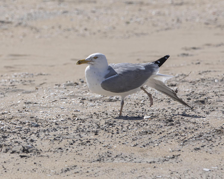 Ring-billed Gull, seashore