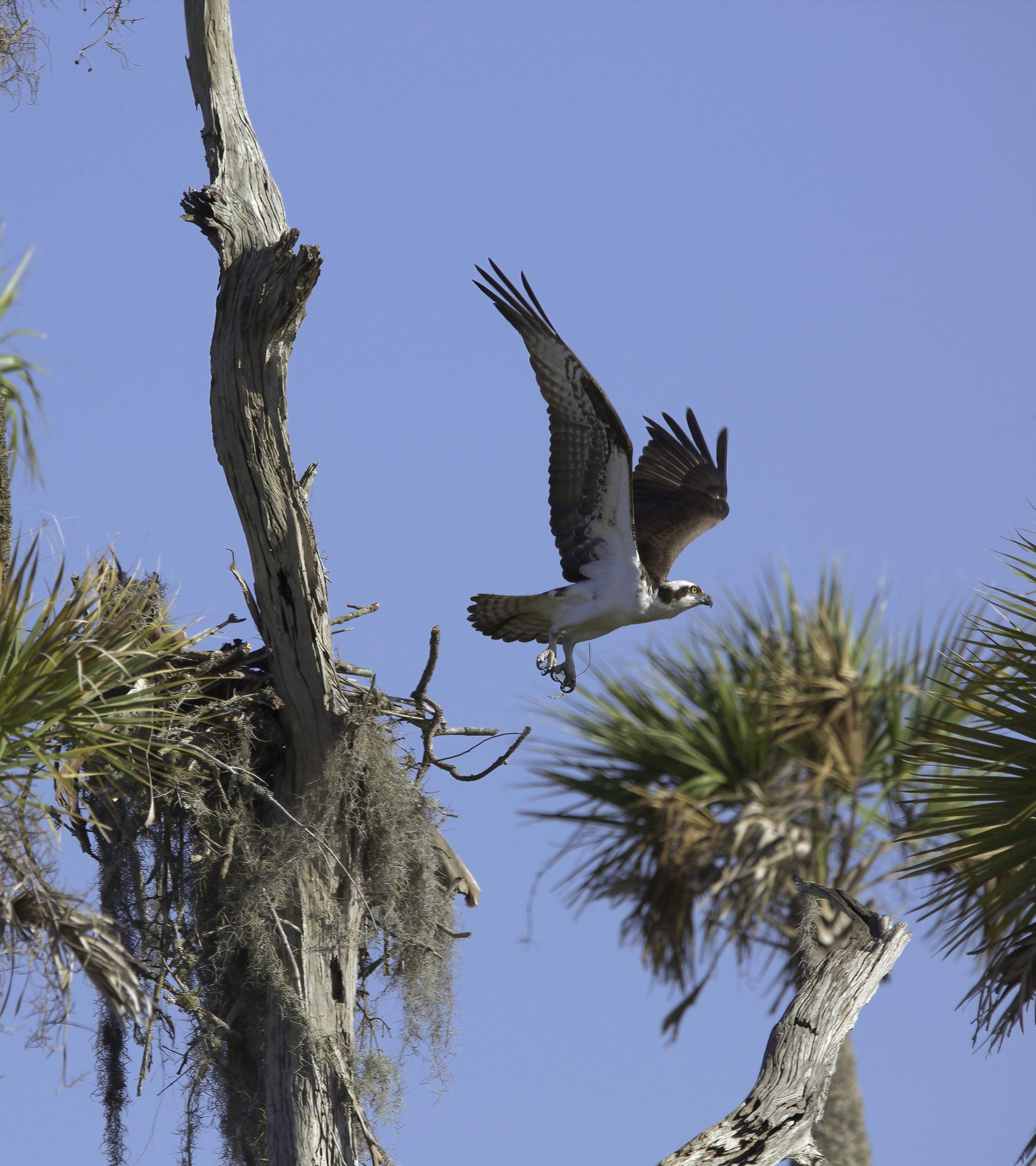 Osprey, nest, Florida