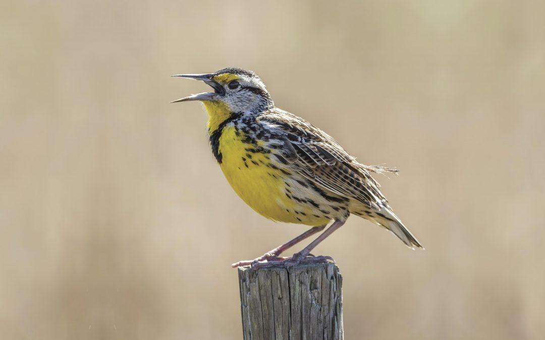 Meadowlark Music