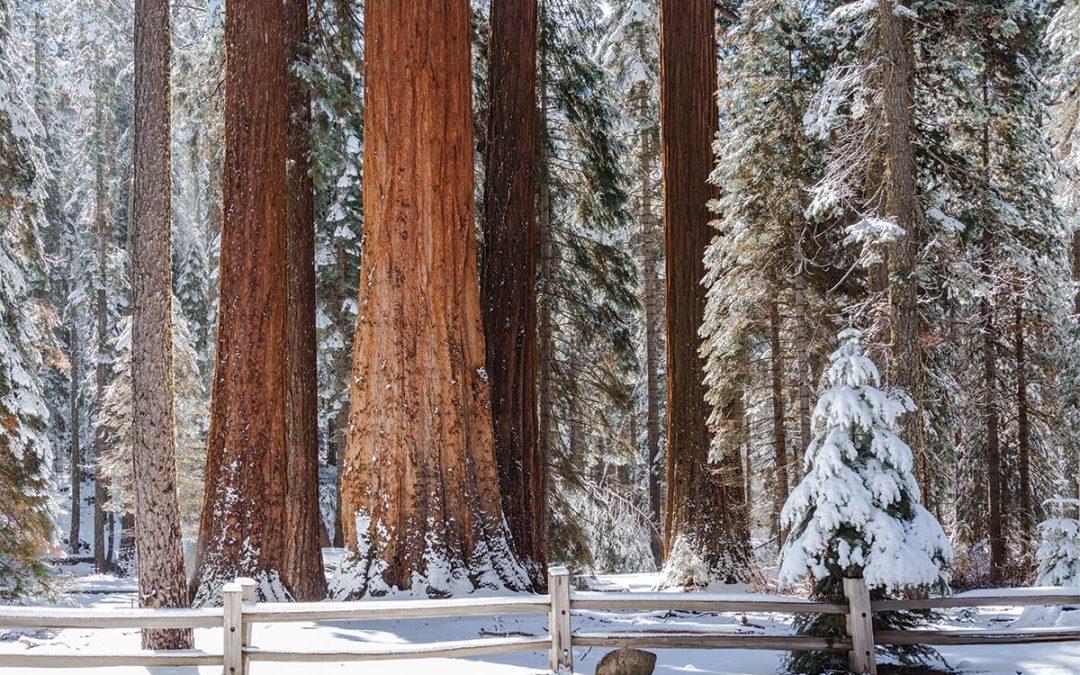 Sequoias, Sentinel, and Stars