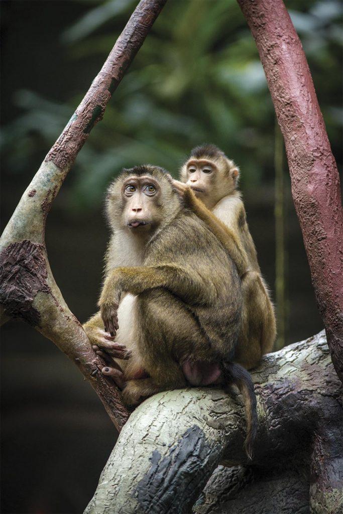 Pig-tailed Monkey