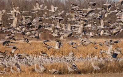 Our Christmas Bird Count…and a Thousand Cranes!