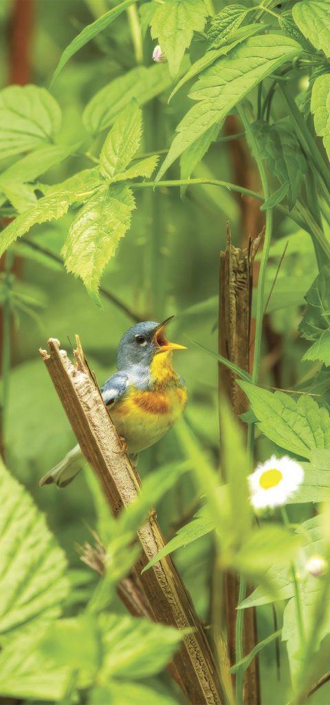 Northern Parula, warbler
