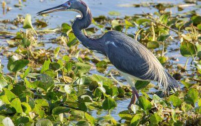Photo: Tricolored Heron, Florida