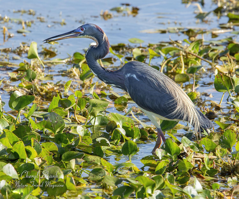 Tricolored Heron, Florida