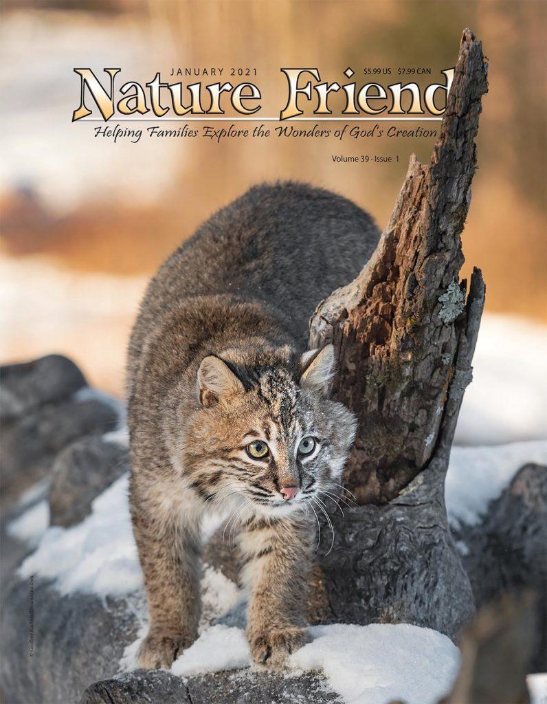 January 2021 Nature Friend cover, bobcat