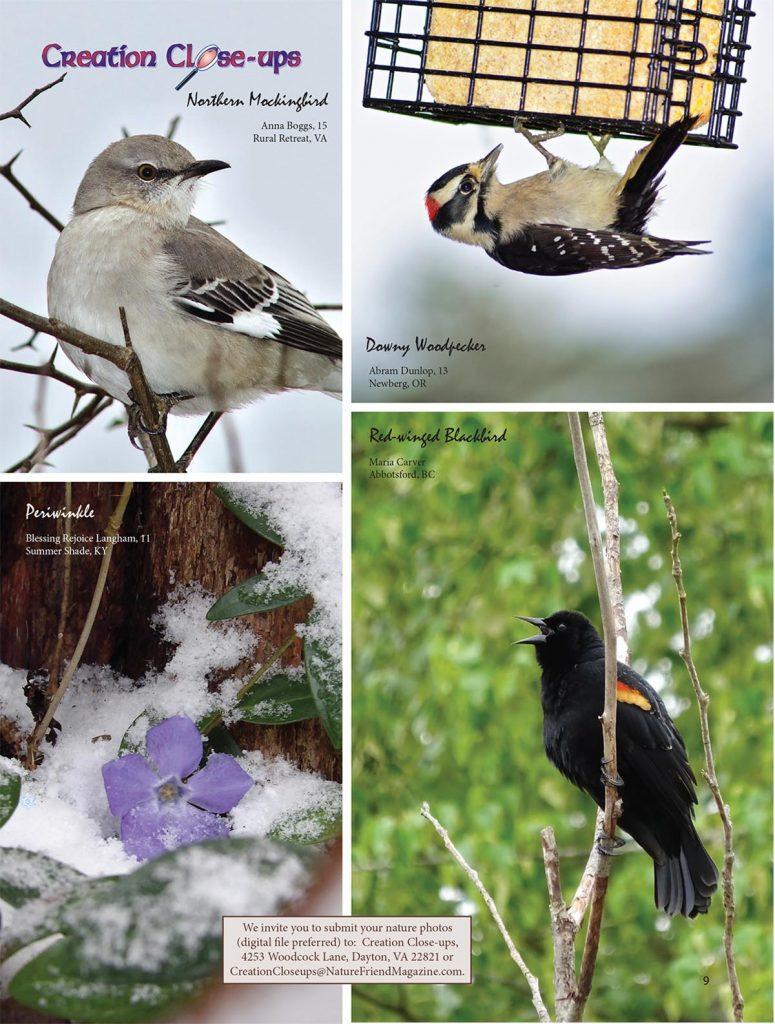 Creation Close-ups, Northern Mockingbird, downy Woodpecker, Periwinkle, Red-winged Blackbird