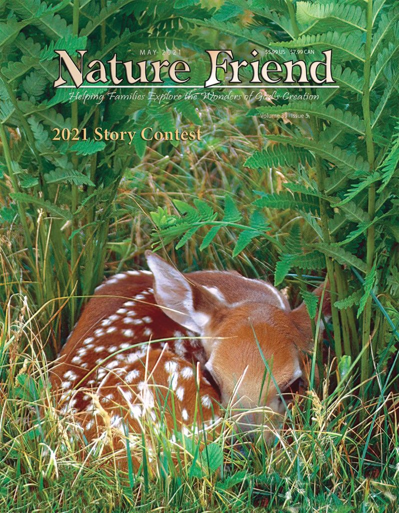 White-tailed fawn under ferns