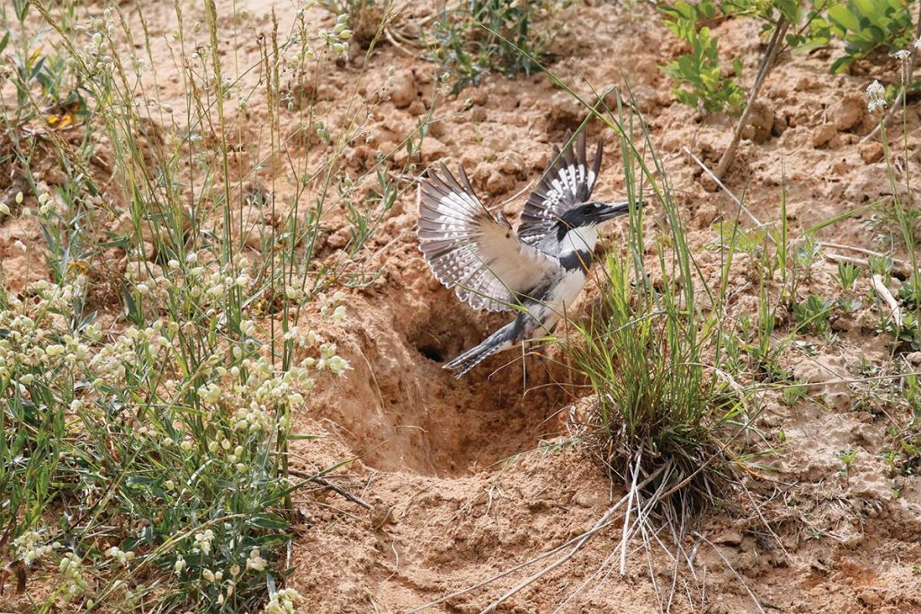 Belted Kingfisher, nest, Belted Kingfisher nest,