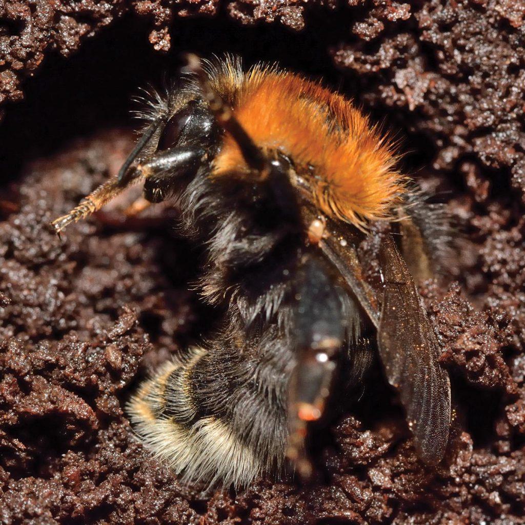 Bumblebee, Hibernation,