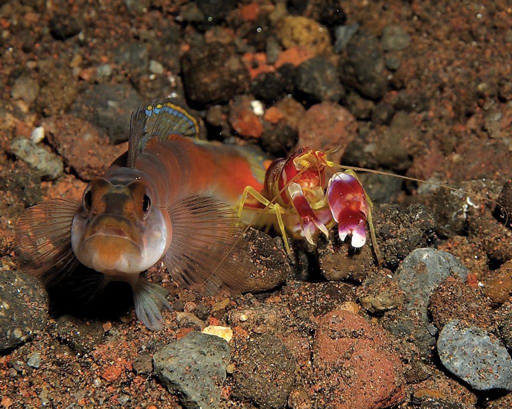 Gobi and mantis shrimp, goby, mantis shrimp,