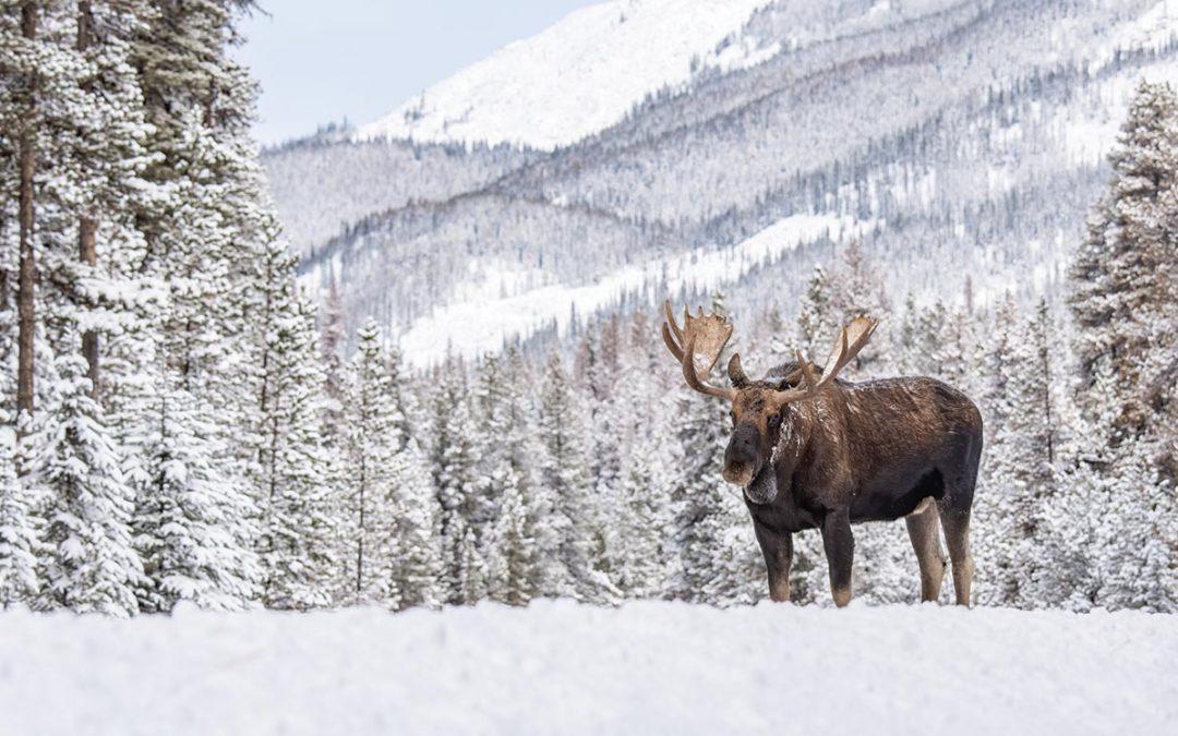 Mega-Moose