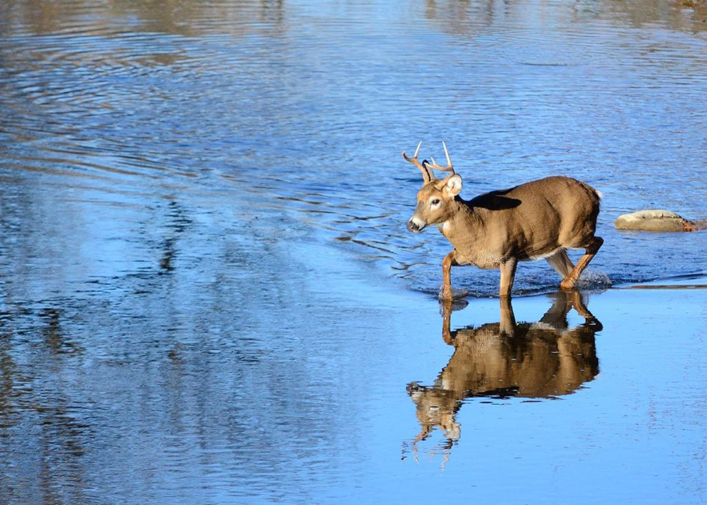 White-tailed buck in river