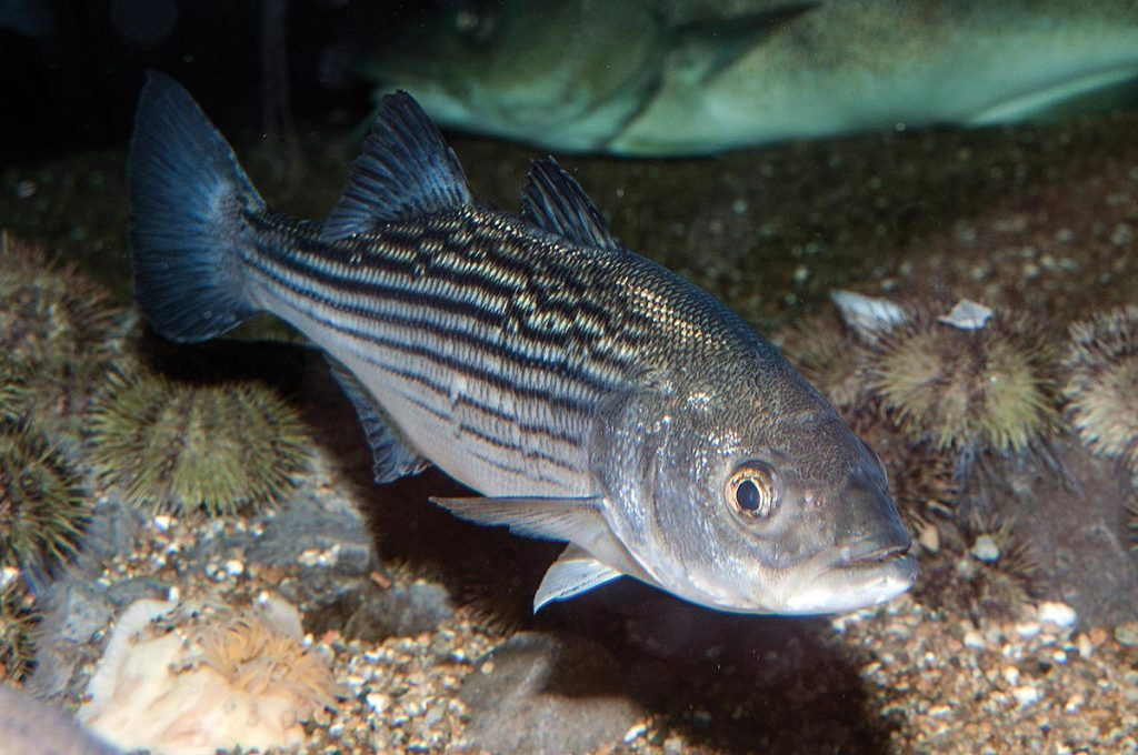 Life cycle of Striped Bass