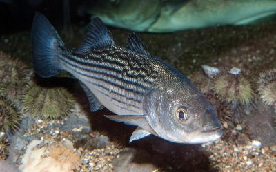 The Life of a Striped Bass