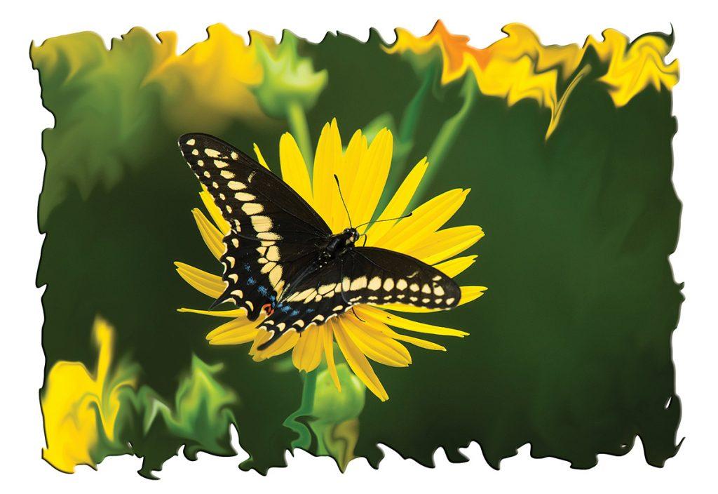 Black swallowtail, male