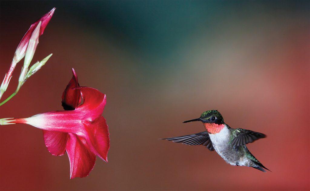 Ruby-throated Hummingbird,