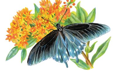 You Can Draw a Pipevine Swallowtail