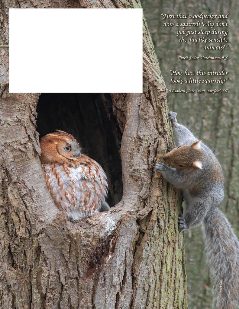 Eastern Screech-Owl, Gray Squirrel