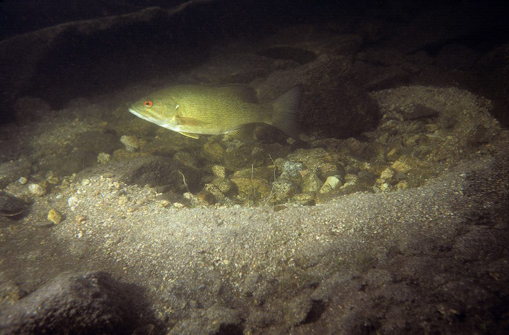 Male smallmouth bass in nest.