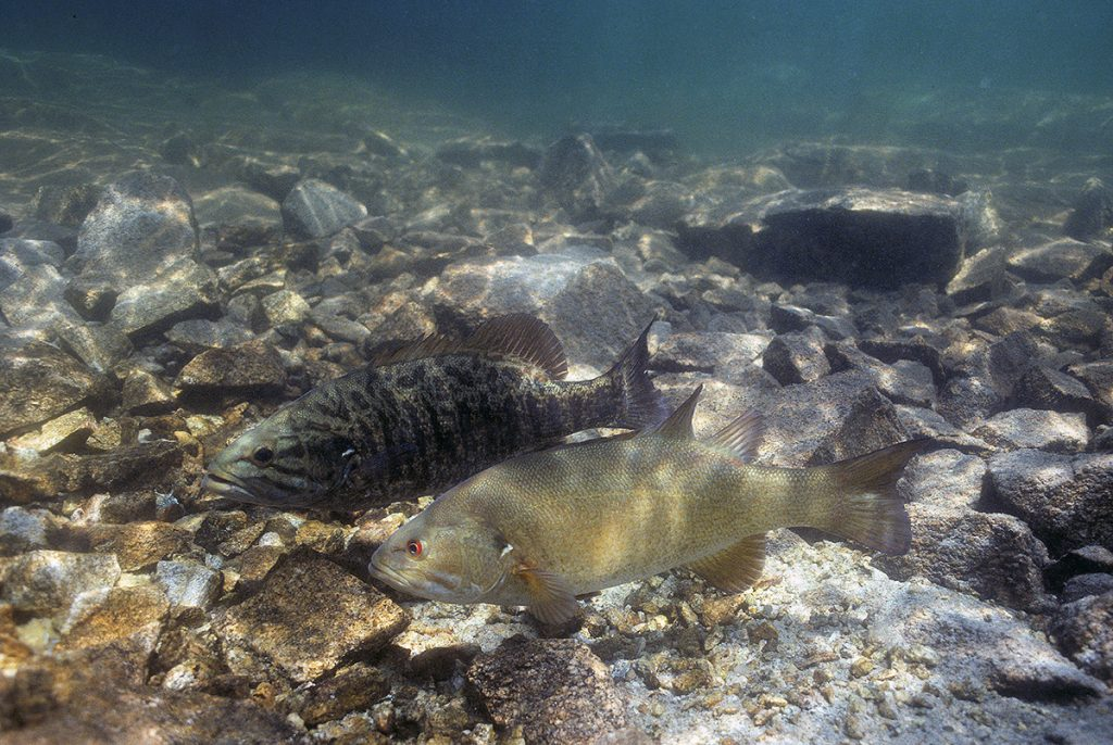 Male and female smallmouth bass