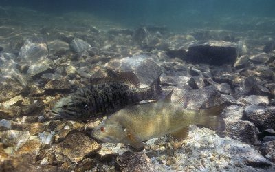 The Spawning Behaviors of Smallmouth Bass