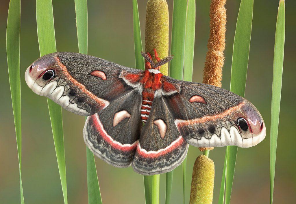 Cecropia Moth,