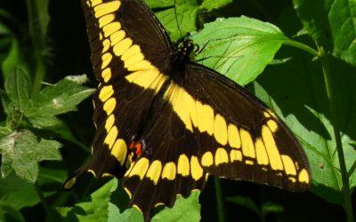 A Giant Among Butterflies