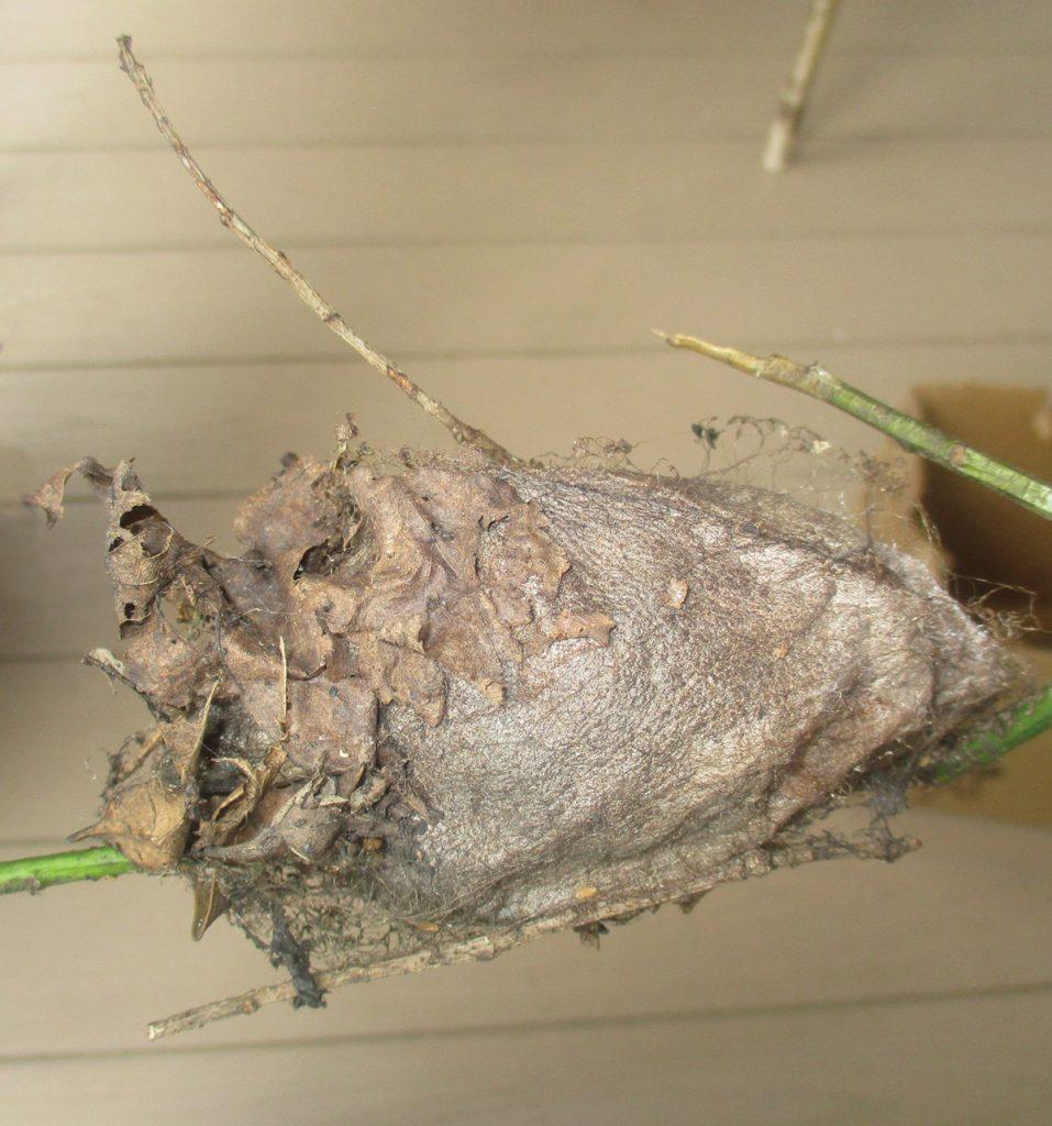 Cecropia Moth Cocoon,