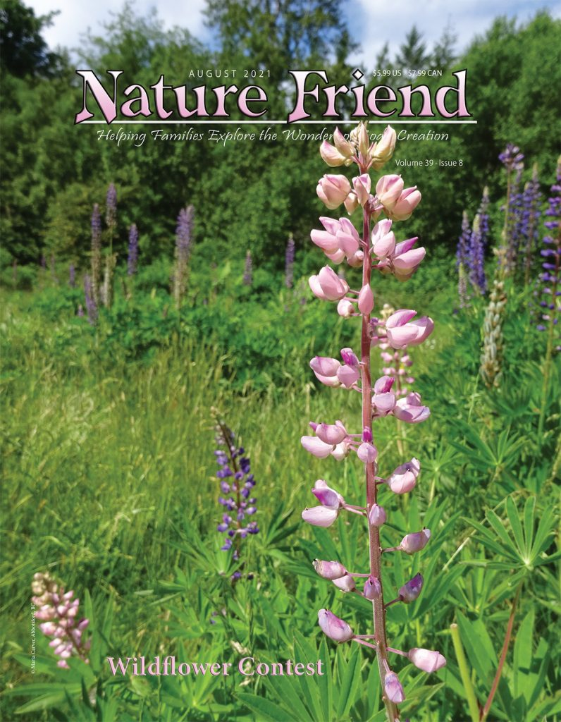 Large-leaved Lupines
