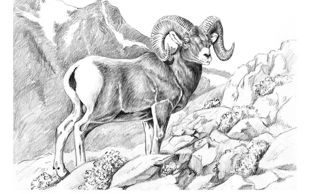 You Can Draw a Bighorn Sheep