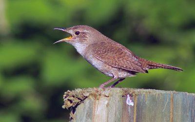 The Tiny Bird With a Big Voice!